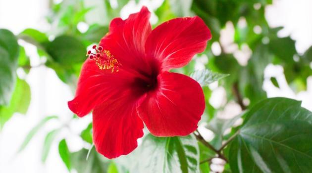 La fleur d'hibiscus et ses mille vertus…